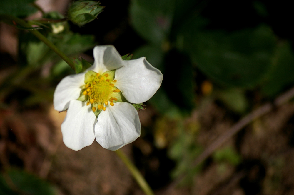 photoblog image Strawberry flower in the garden.